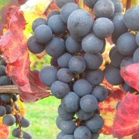 raisin-vignoble-de-bel